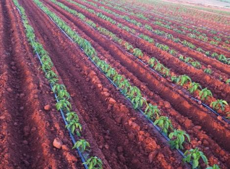Cultivo irrigado de pimentão na Fazenda São João, em Cafelândia-SP. Produtor optou por utilizar sistema de gotejamento pela economia de água e custos. Créditos: Paulo Palma Beraldo