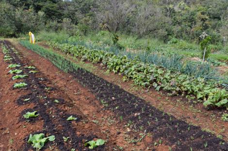 Cultivo de alimentos orgânicos em Agrofloresta na região de Brazlândia, no DF (Foto: Antonio Cruz/Agência Brasil)