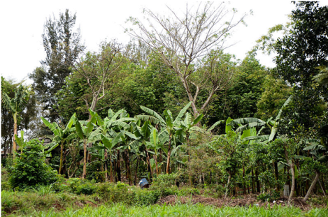 Agrofloresta em Masaka, Uganda. Foto: MARCO SCHMIDT/ Wikipedia.