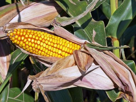 Etanol 2G pode ser obtido a partir de palha e sabugo de milho, como acontece nos EUA, onde algumas unidades industriais já estão instaladas. (Créditos: Pixabay)
